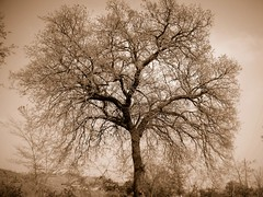 ...big tree on sepia.... | by rebranca46