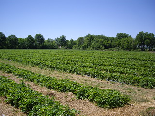 Strawberry Patch at Hann Farms | by swampkitty