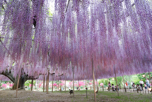大藤(big wisteria)09 | by baron05mouth