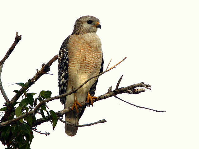 Red-shouldered Hawk 20090224