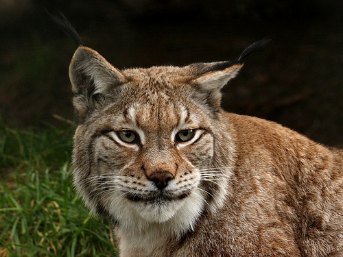 Lynx | by hugs6229 (back after a long break)