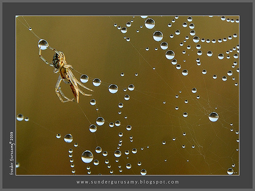 spider-web-dew | by sunder_gurusamy