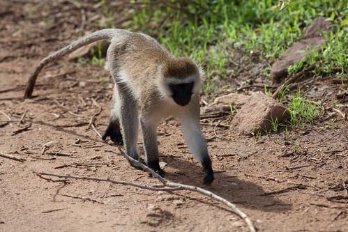 monkey walk   pinguino...