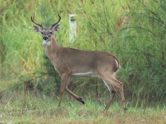 White-tailed Deer buck 20130922