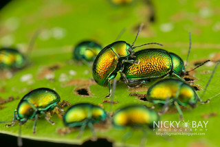 Leaf Beetles (Chrysomelidae) - DSC_7715