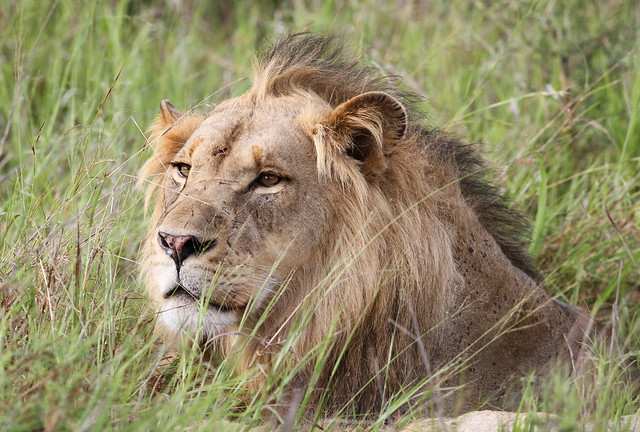 Your First Safari to The Kruger Park Male lion in the grass