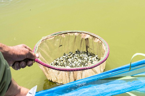 Harvesting tilapia fry from a hapa, Egypt. Photo by Heba El Begawi, 2013.