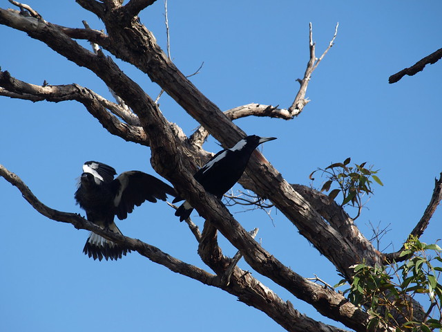 magpies in jarrah tree