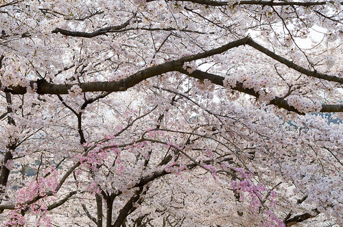 桜色と桜色