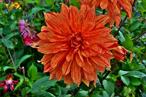 Orange dahlia dahlias are spicy flowers and their for Portent of betrayal