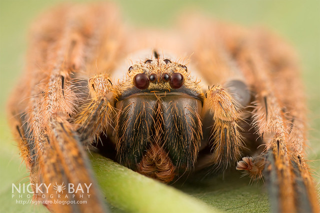 Huntsman Spider (Gnathopalystes sp.) - DSC_6967