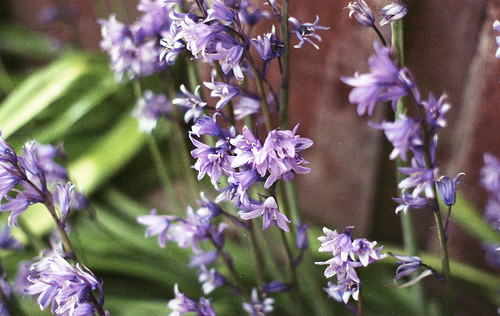 Common garden flowers can be just as exciting as their toxic counterparts. Icy takes a look at the folklore of bluebells, daffodils and hydrangeas.