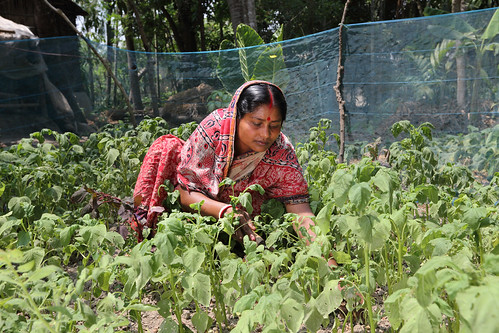 Komola Roy nursing her vegetable field in Khulna, Bangladesh. Photo by M. Yousuf Tushar.