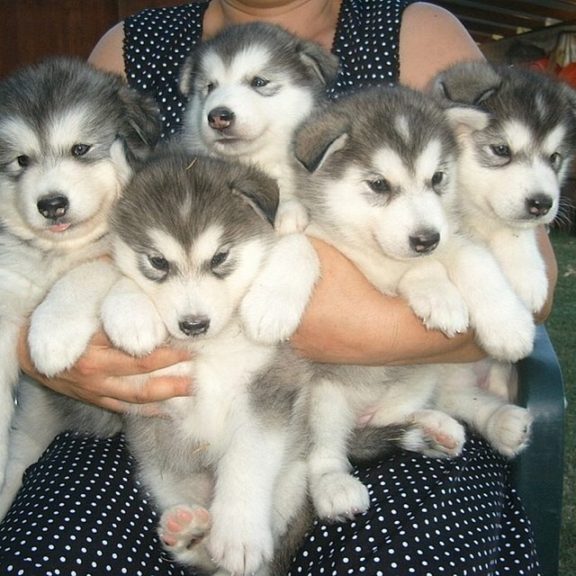 Aren't these husky puppies the cutest things ever? #animals