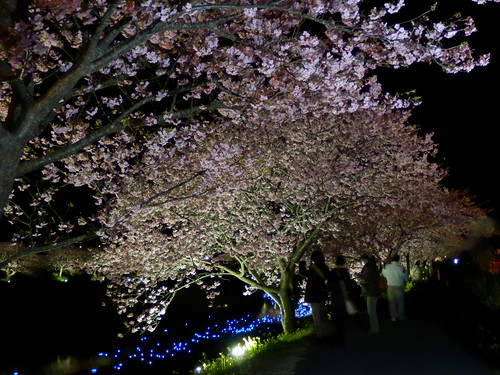 Night Cherry Blossoms and Shooting Stars Festival