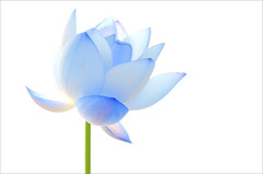 Lotus Blue