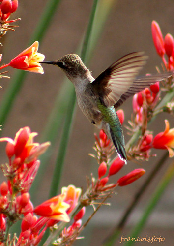 hovering hummingbird at flowers