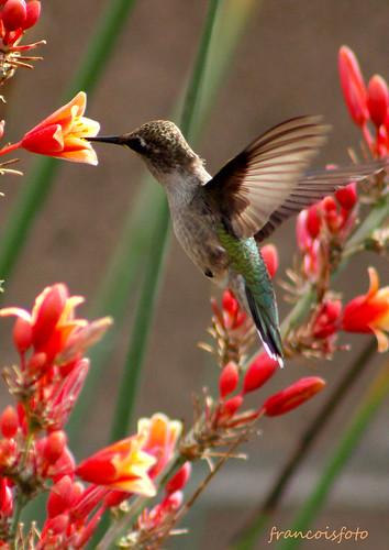 hovering hummingbird at flowers