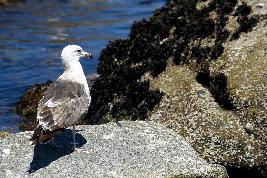 Gaviota (VII) / Seagull (VII)