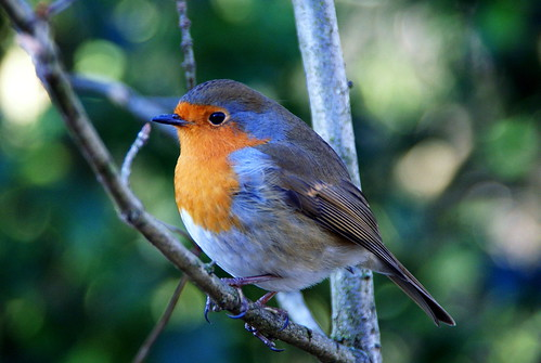 Robin | by Flickr Al