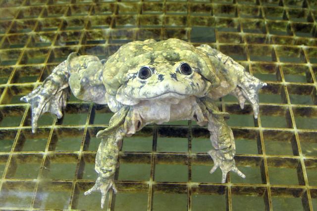 Telmatobius culeus, Lake Titicaca Water Frog (captive), IUCN Redlist: Critically Endangered, Balsa de los Sapos, Pontificia Universidad Catolica del Ecuador, Quito, Ecuador