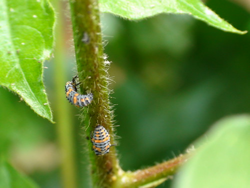 Lady beetle larvae feeding on aphids | by CottonDoc