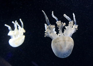 Spotted Lagoon Jelly x2 | by fangleman