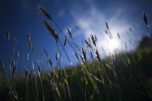 Orchard Grass (カモガヤ)