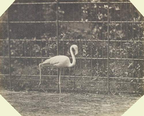 Flamingo, London Zoo | by The British Monarchy