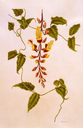 Thunbergia mysorensis | by Brooklyn Botanic Garden