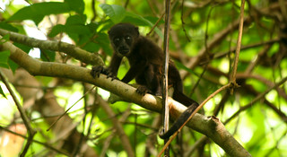 baby howler monkey | by Grant and Caroline's pix