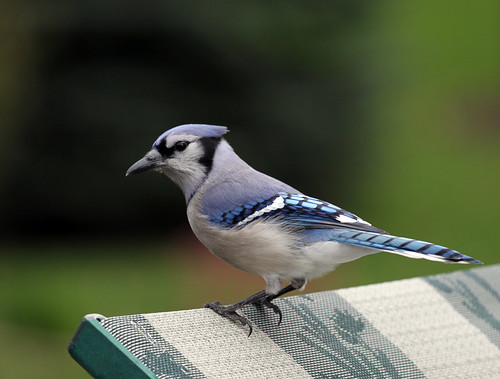Blue Jay looking for a hand out! | by Dawn Huczek