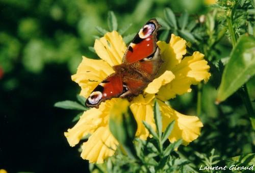 Photo de mon papillon sur une rose d 39 inde un paon de jour flickr photo sharing - Comment couper une rose sur un rosier ...