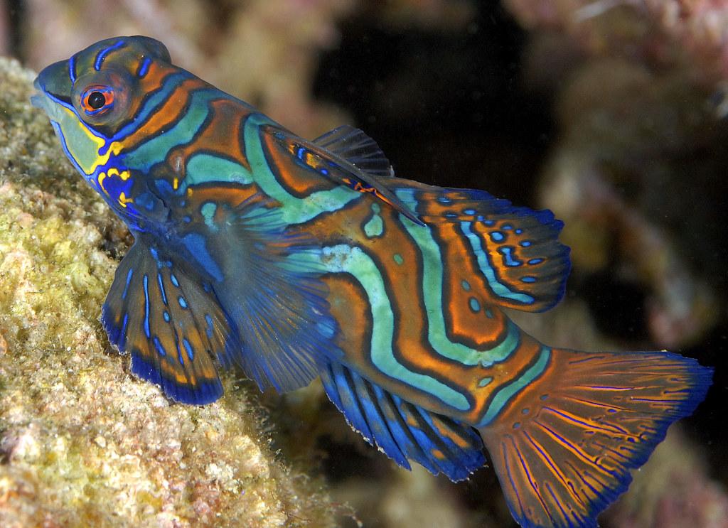 083_adj_DSC3840 mandarin fish