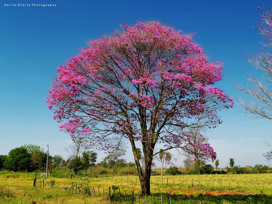 Lapacho Rosado / Pink Trumpet Tree