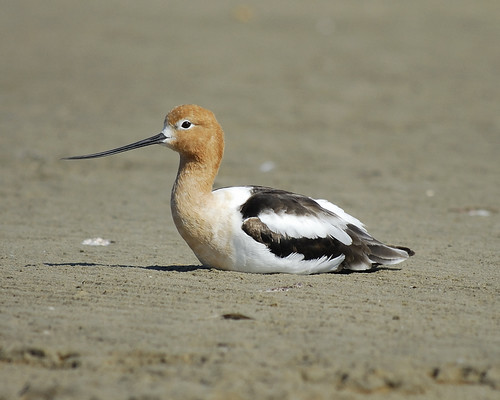 JosephKennedyAmericanAvocet4 | by hedwig_the_owl