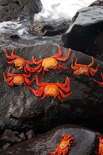 Sally Lightfoot Crabs, Galapagos | by blinkingidiot