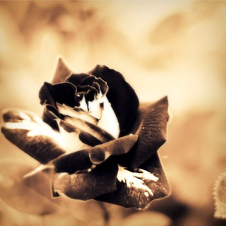 A Rose Lost in Time | by TLW Photography