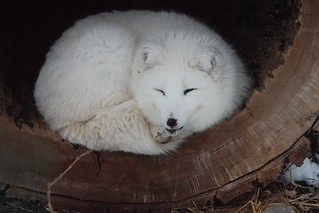 arcticfox | by Aunt Owwee