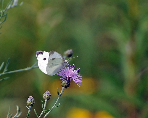 Cabbage White | by 1F Photos
