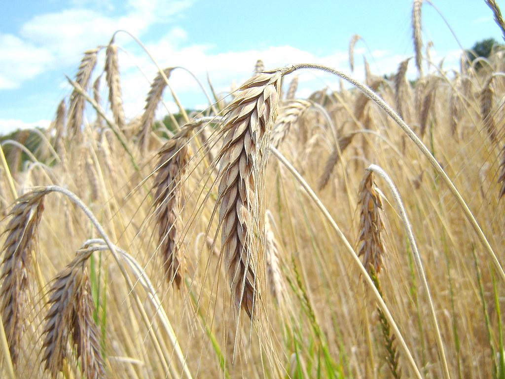 Rye or Barley