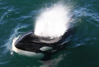 Killer Whale | by toryjk