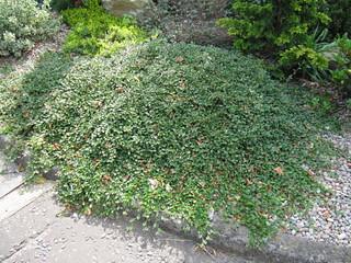 Cotoneaster dammeri a very prostrate evergreen - Muri da giardino ...