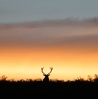 Silhouetted Stag | by Derbyshire Harrier