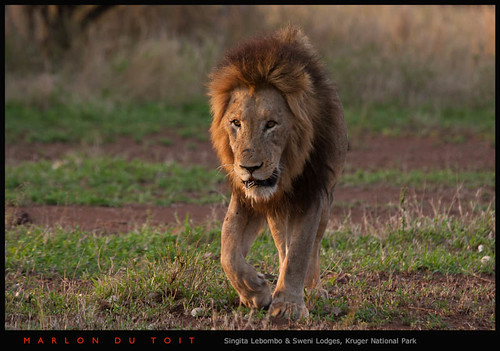 Mountain Pride male 4 | by Singita Game Reserves