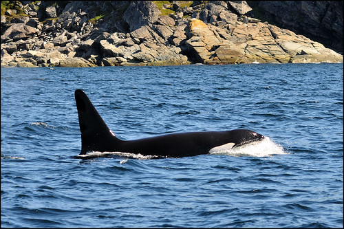 Orca ... St. Anthony Bight | by Zircon_215