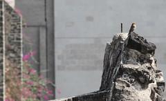 Feathered one on Templo Mayor