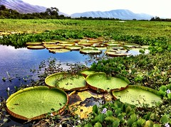 Splendid array of giant water lilies strewn out in front of a grand mountain vista #Pantanal