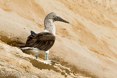 Blue-footed Booby-2 NIKON D3S January 30, 2011