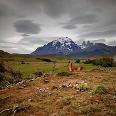 Parque Nacional Torres del Paine  #TorresDelPaine #Chile #Guanaco #Patagonia